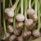 garlic 'Lautrec Wight' (garlic (hardneck) bulb)