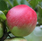 apple 'Worcester Pearmain' (apple)