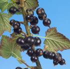 blackcurrant 'Big Ben' (PBR) (blackcurrant)