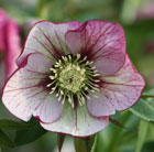 Helleborus x  hybridus Harvington picotee (Lenten rose hellebore)