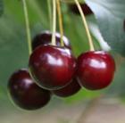 cherry 'Sunburst' (cherry)