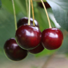 cherry 'Sunburst' (cherry)