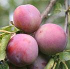 plum 'Marjorie's Seedling' (plum)