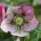 Helleborus x  hybridus Harvington picotee (Lenten rose hellebore)