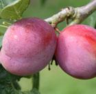 plum 'Victoria' (plum)