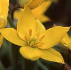 Tulipa sylvestris (wild tulip bulbs)
