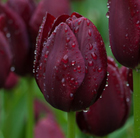 Tulipa 'National Velvet' (triumph tulip bulbs)
