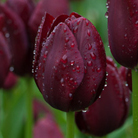 Tulipa 'National Velvet' (triumph tulip bulbs)