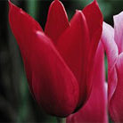 Tulipa 'Red Shine' (lily flowered tulip bulbs)