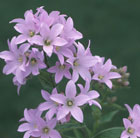 Campanula lactiflora 'Pritchard's Variety' (milky bellflower)