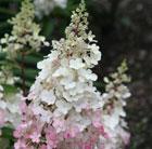 Hydrangea paniculata Pinky Winky ('Dvppinky') (PBR) (hydrangea)