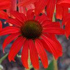 Echinacea 'Tomato Soup' (coneflower)