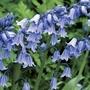 English Bluebells 50 Bulbs