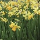 Daffodil Tete a Tete 50 Bulbs