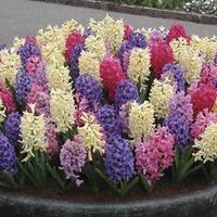 Hyacinth 10 Bulbs