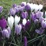 Large Flowering Crocus 50 Bulbs