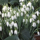 Snowdrops 50 Bulbs
