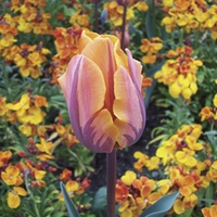 Tulip Prinses Irene 20 Bulbs