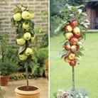 Patio Apple Trees (Gold Del/Gala) 9cm Pot