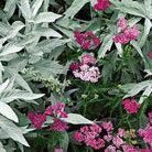 Achillea millefolium 'Cerise Queen' (yarrow ( syn Kirschkonigin ))