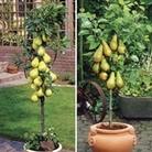Patio Pear Trees (Conf/Doy du Com) 9cm Pot