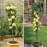 Patio Apple(Golden Delicious) & Pear(Conference) Trees 9cm Pot