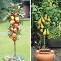 Patio Apple (Gala) & Pear (Doyenne) Trees 9cm Pot