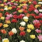 Tulip Flame Mix 15 Bulbs
