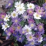 Anemone Blanda 50 Bulbs