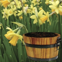 Daffodil Tete a Tete in Barrel 7 Bulbs
