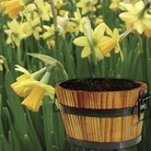 Daffodil Tete a Tete in Barrel 7 Bulbs