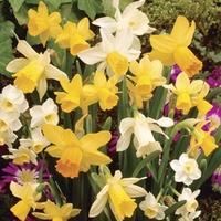 Daffodil Dwarf Collection 50 Bulbs