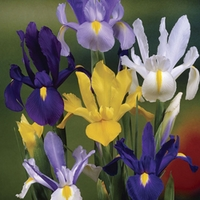 Dutch Iris Collection 50 Bulbs