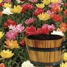 Tulip Flame Mix in Barrel Planter 7 Bulbs