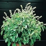 Basil : Lime (Ocimum Minimum) 1 packet (400 seeds)