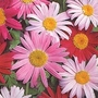 Pyrethrum T&M Single Mixed 1 packet (125 seeds)