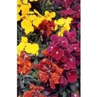 Wallflower Bloomsy Baby x 66 medium plugs plants