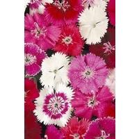 Dianthus Festival Mixed x 66 medium plug plants