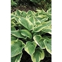 Hosta Widebrim x 5 young plants