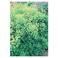 Euphorbia Robbiae x 5 young plants