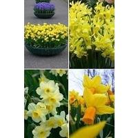 Mixed Dwarf Daffodils x 40 bulbs