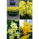 Mixed Dwarf Daffodils x 40 bulbs