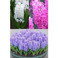 Hyacinth mix x 15 bulbs