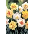 Double Mixed Daffodils x 25 bulbs
