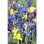Iris Reticulata Mixed x 50 bulbs