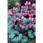 Cyclamen Coum x 5 bulbs