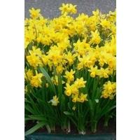 Narcissus Tete a Tete x 30 bulbs