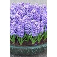 Hyacinth  blue x 10 bulbs
