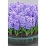 Hyacinth  blue x 10 bulbs