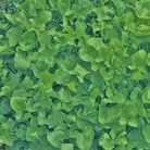 Sorrel Herb Seeds